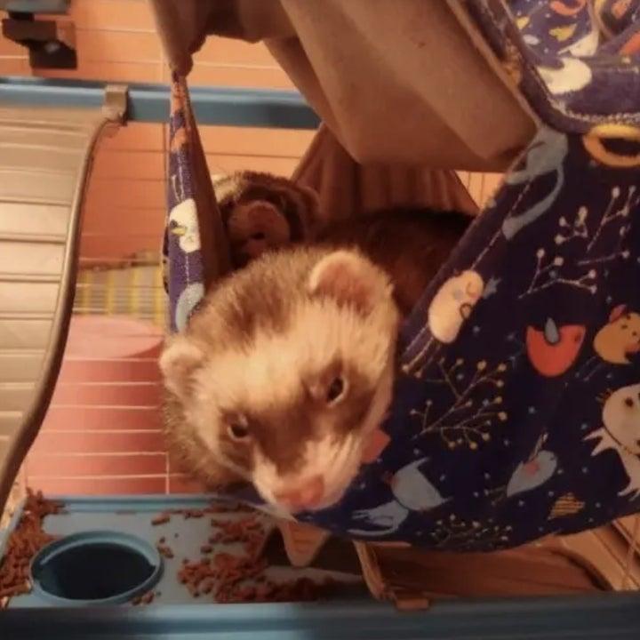 reviewer's ferret inside hammock