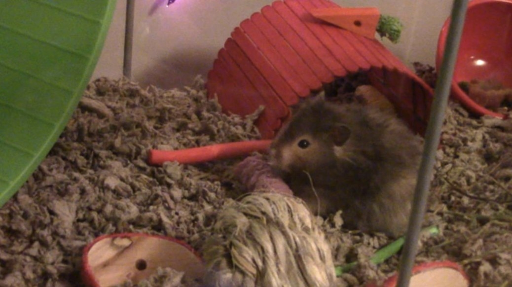 Hamsters in cage with bedding