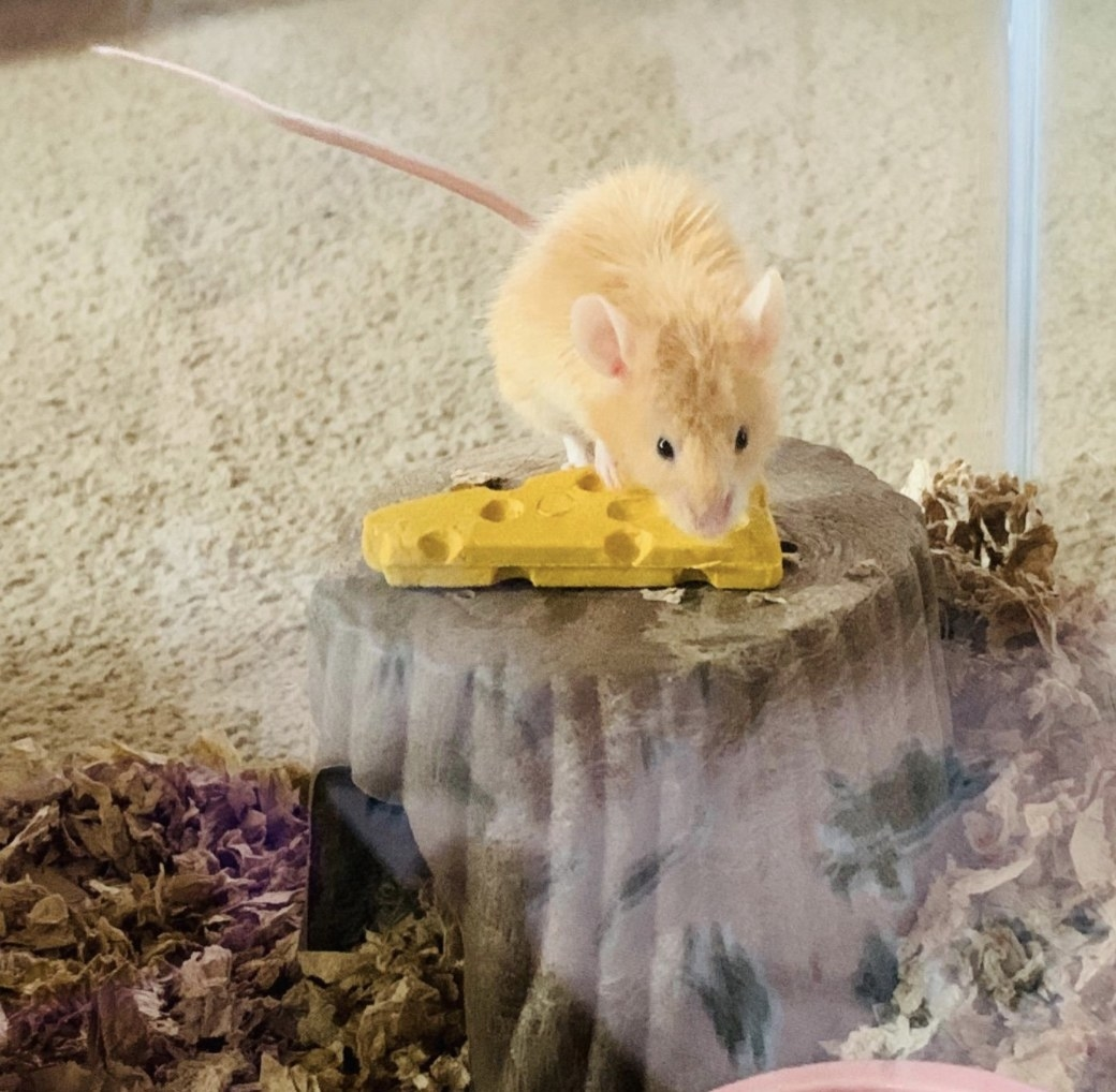 Reviewer's mouse enjoys treat