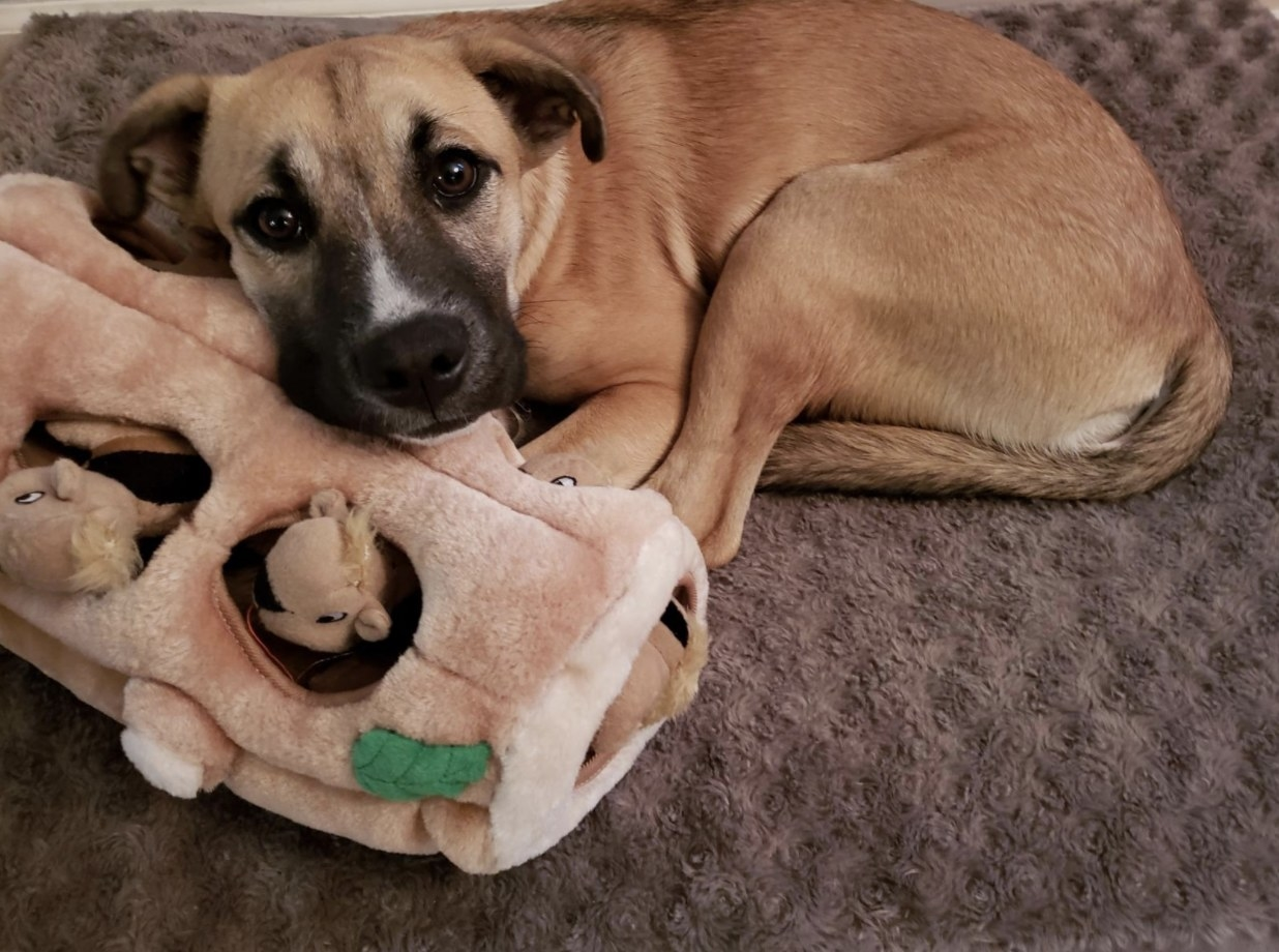 Reviewer's boxer puppy lays with toy