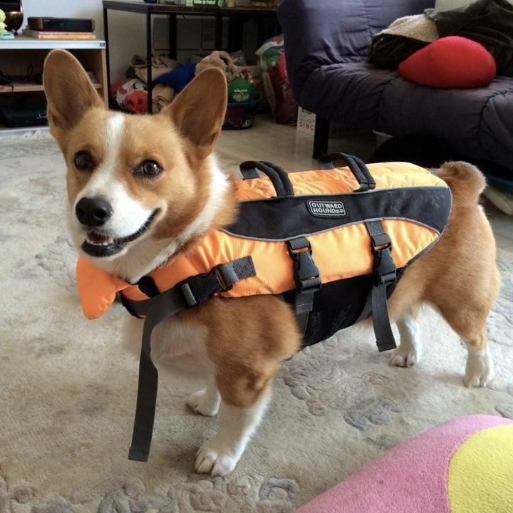 reviewer's corgi wearing life preserver