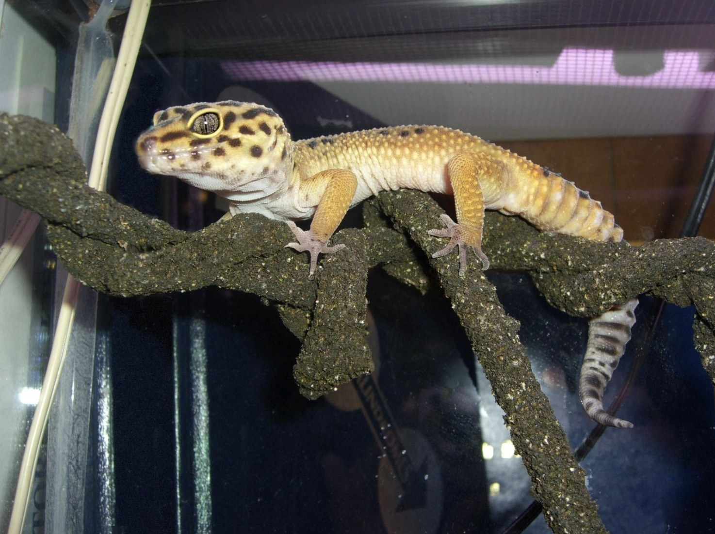 An image of a gecko in its enclosure sitting on top of a vine