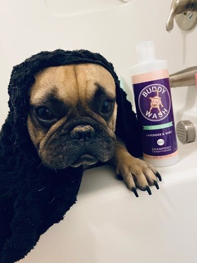 A Frenchie wrapped in a towel next to a bottle of Buddy Wash