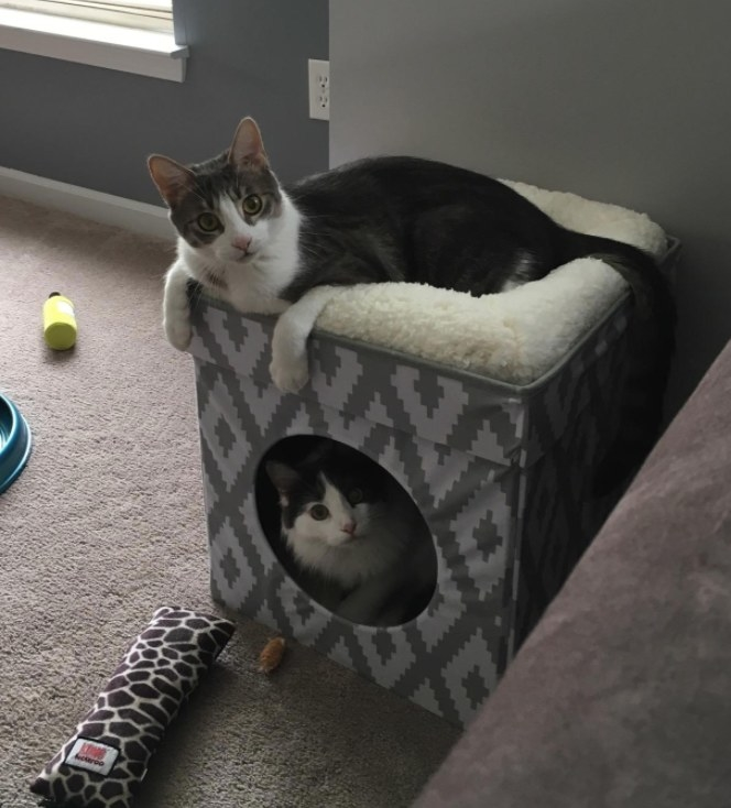 Reviewer's two cats in and on the cat cube