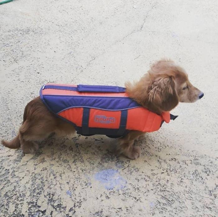 Daschund pup wearing a life jacket