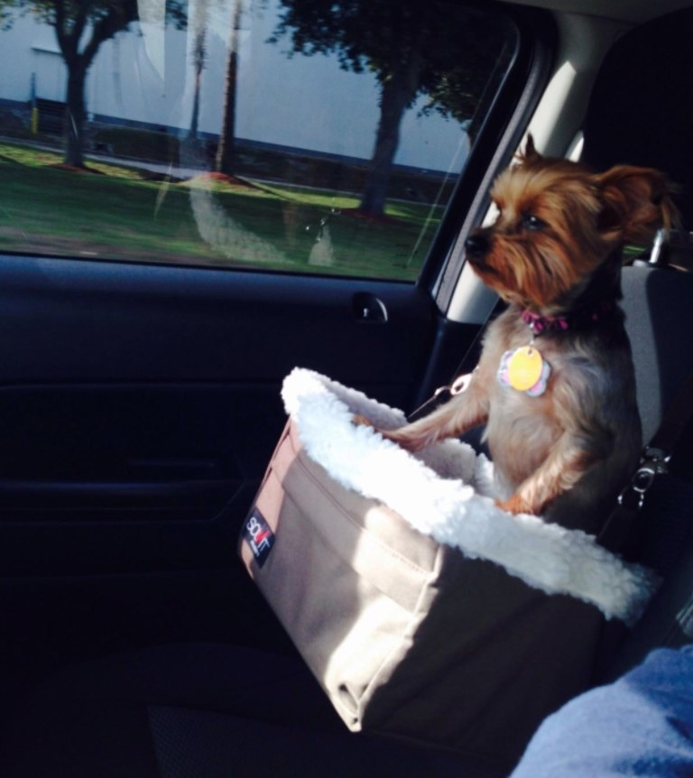 Yorkie pup sitting in a brown car booster seat