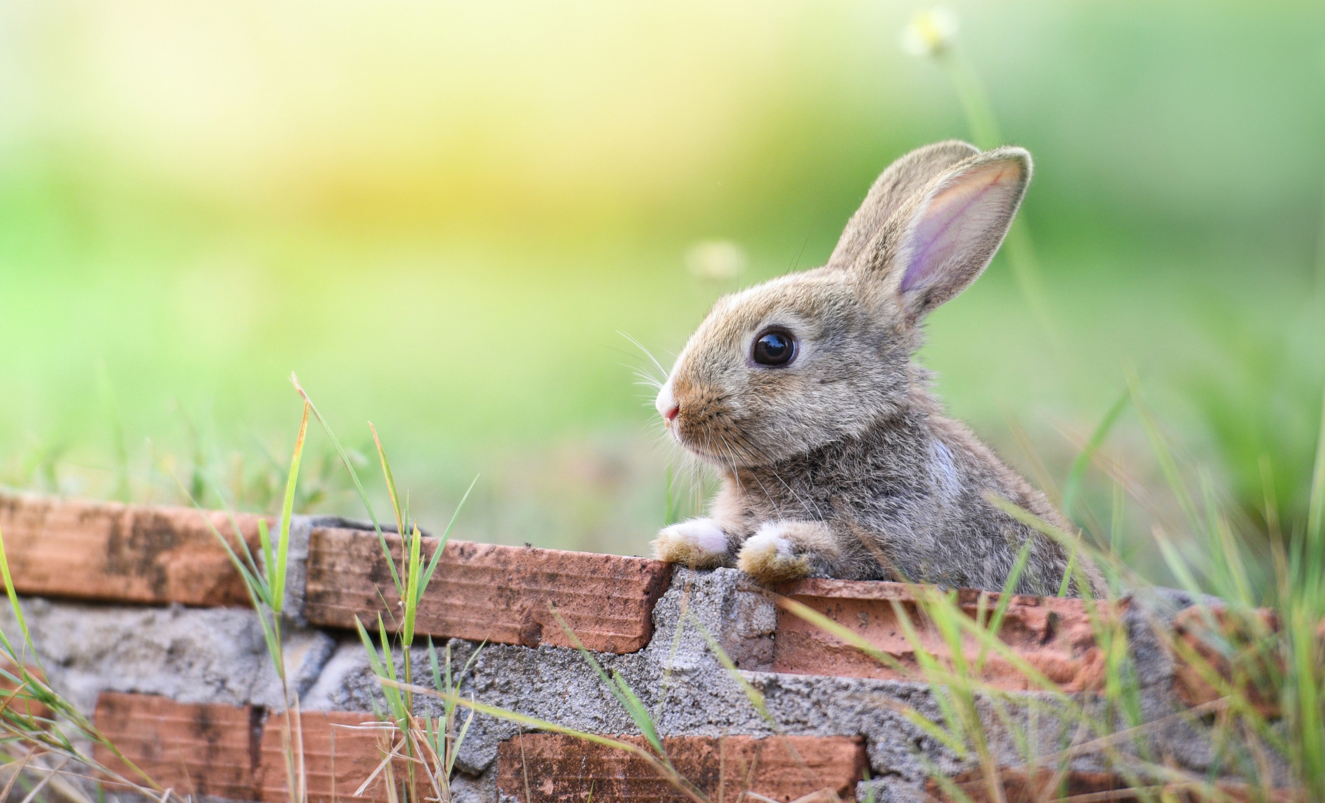 Cute rabbit sitting on brick wall and green field spring meadow
