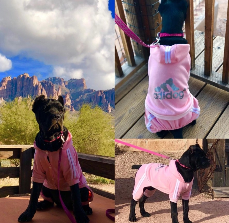 Black dog dressed in pink Adidog hooded tracksuit