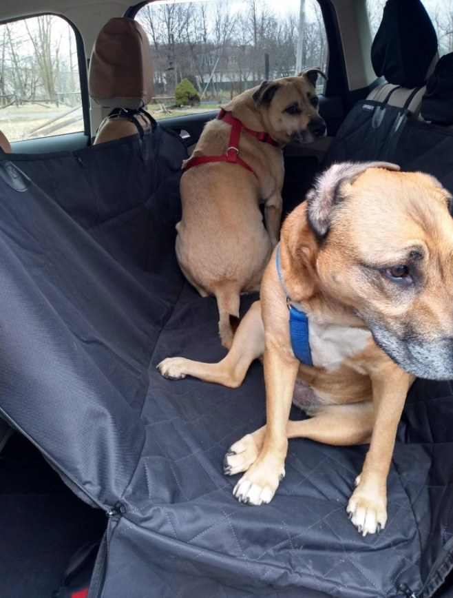Two dogs sitting in the backseat of a car with a seat cover beneath them