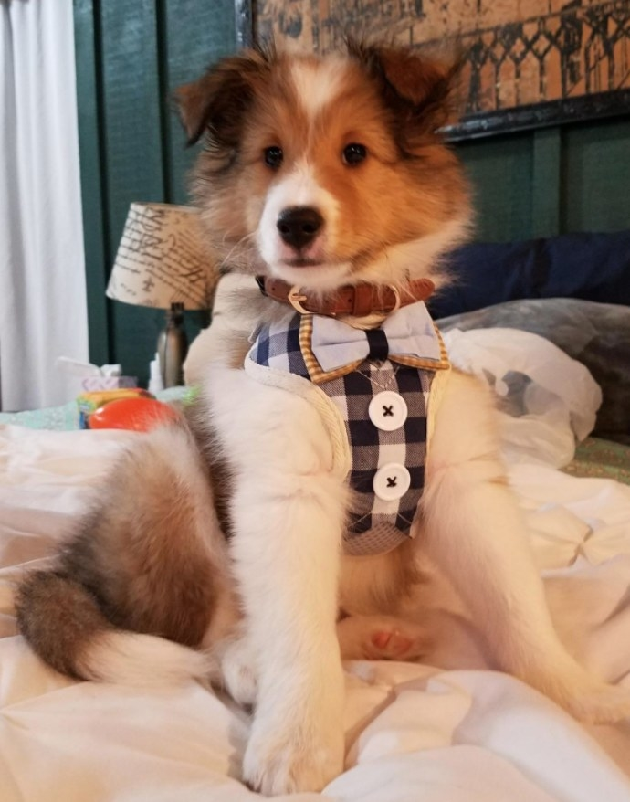 Fluffy brown and white dog wearing a gingham harness with white button and a bow tie