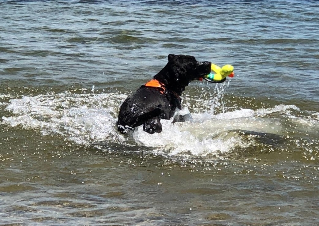 Black dog featching floating frisbee dog toy in water