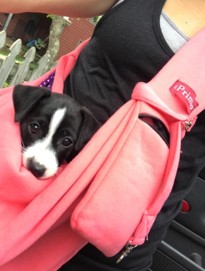 Black and white Jack Russell in a pink sling messenger bag