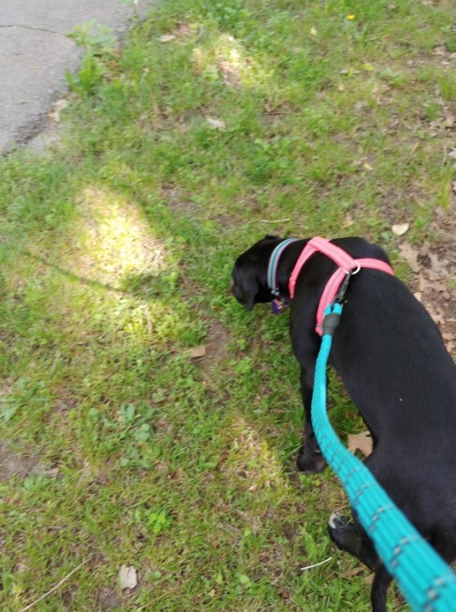 Black lab getting walked across grass on a bright blue leash