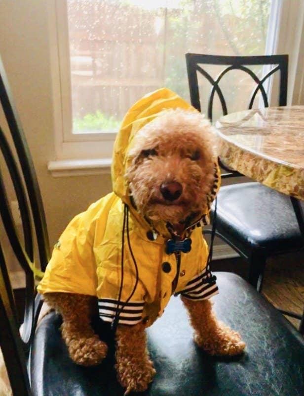 Fluffy dog wearing a yellow rainjacket.