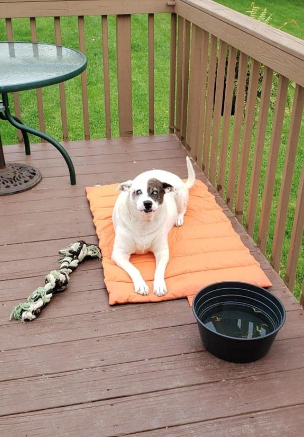 White and brown dog laying on orange pet mat on deck
