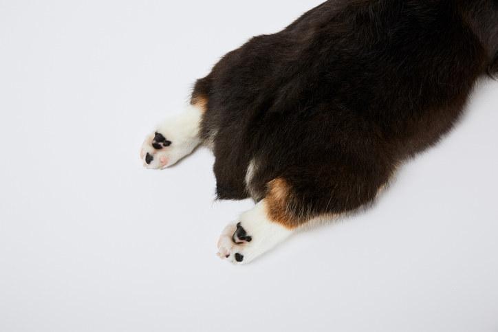 Short, stubby corgi tail