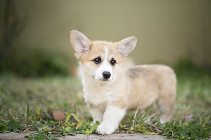Corgi puppy with its tail docked