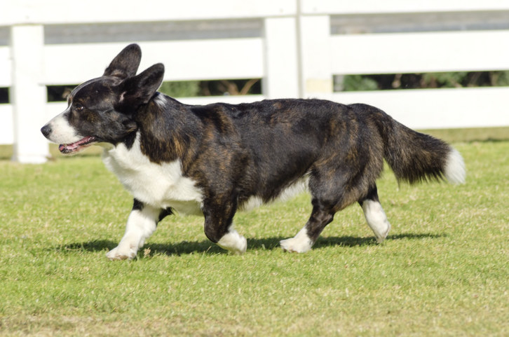 Cardigan Welsh Corgi with a long, fluffy tail trotting through a field