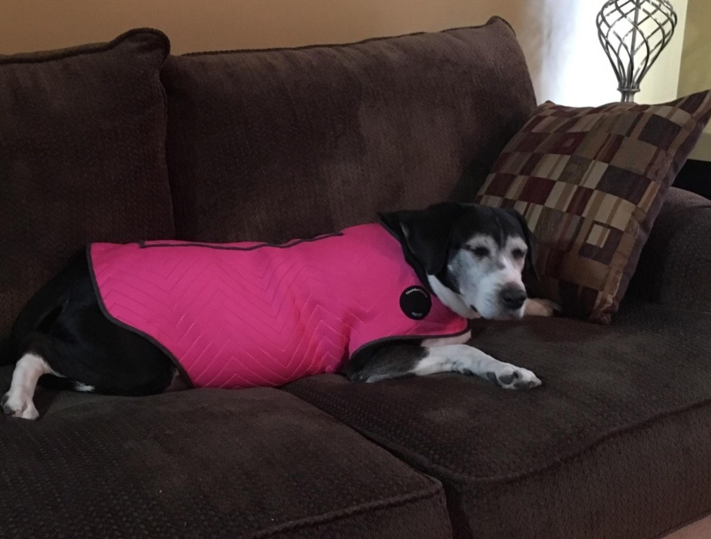 Old black dog wearing a pink anxiety jacket while laying on the couch
