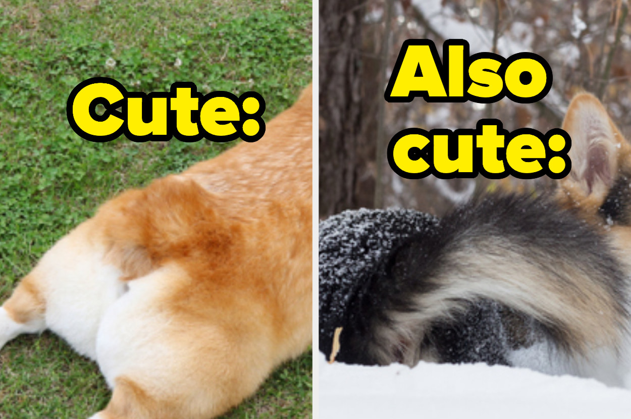 """A docked corgi tail with the text """"cute"""" and a full non-docked corgi tail with the text """"also cute"""""""
