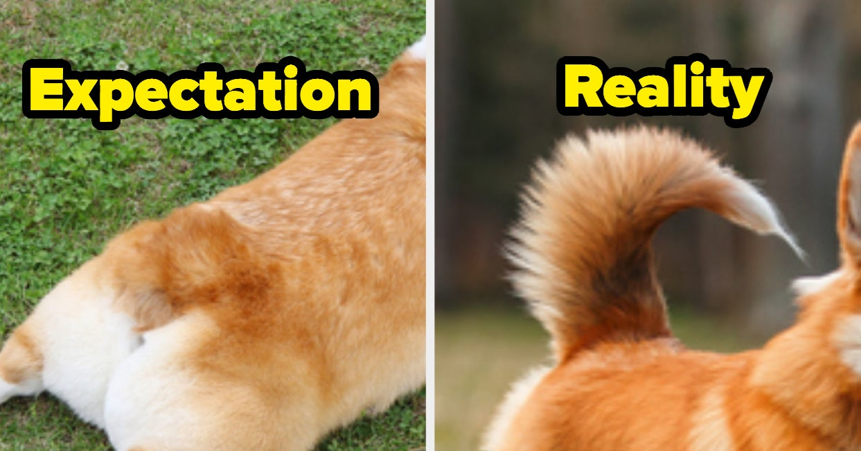 I Literally Just Learned That Corgis Have Their Tails Docked When They're Puppies, And It's A Lot To Take In