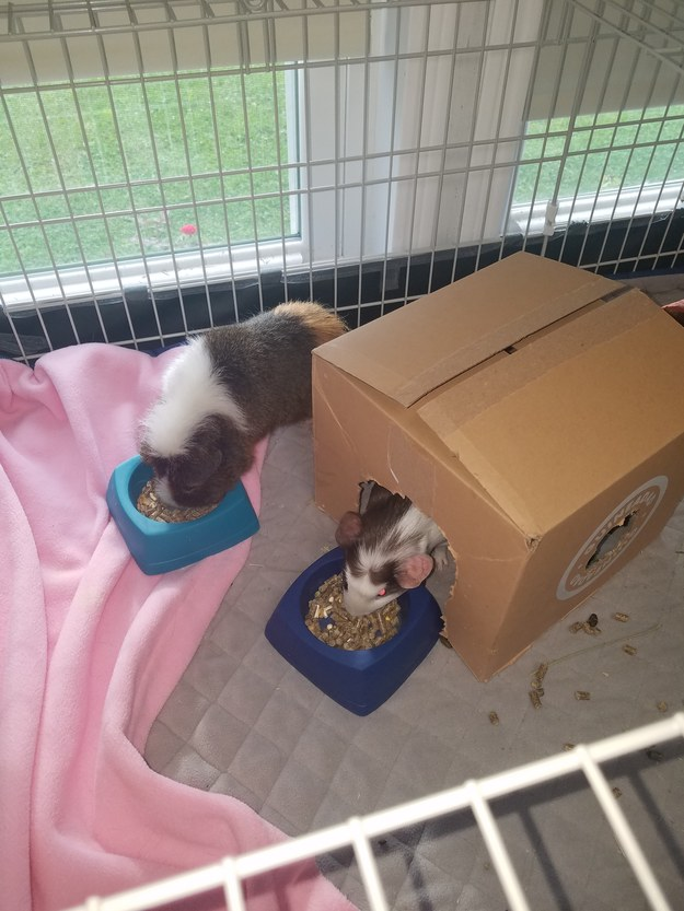 Reviewer's guinea pigs with their pink cage liner