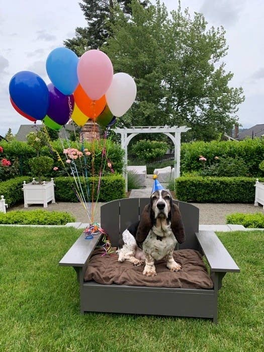 A Bassett Hound sitting in a wide Adirondack chair/dog bed hybrid while wearing a birthday hat and holding balloons