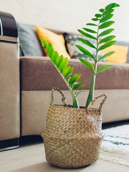 A ZZ plant potted in a woven basket near the foot of a couch