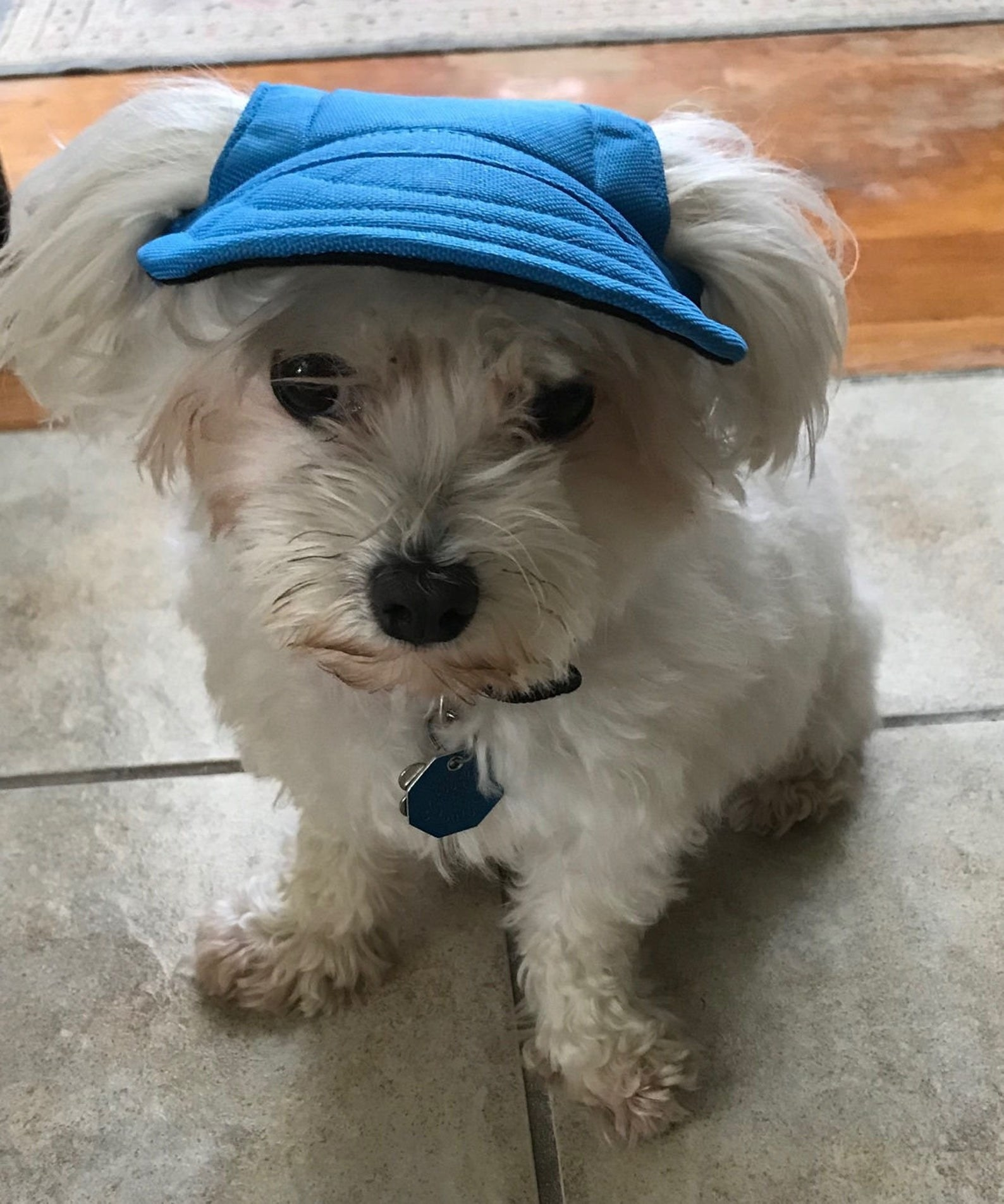 A dog wearing a blue visor where its ears come out at the sides