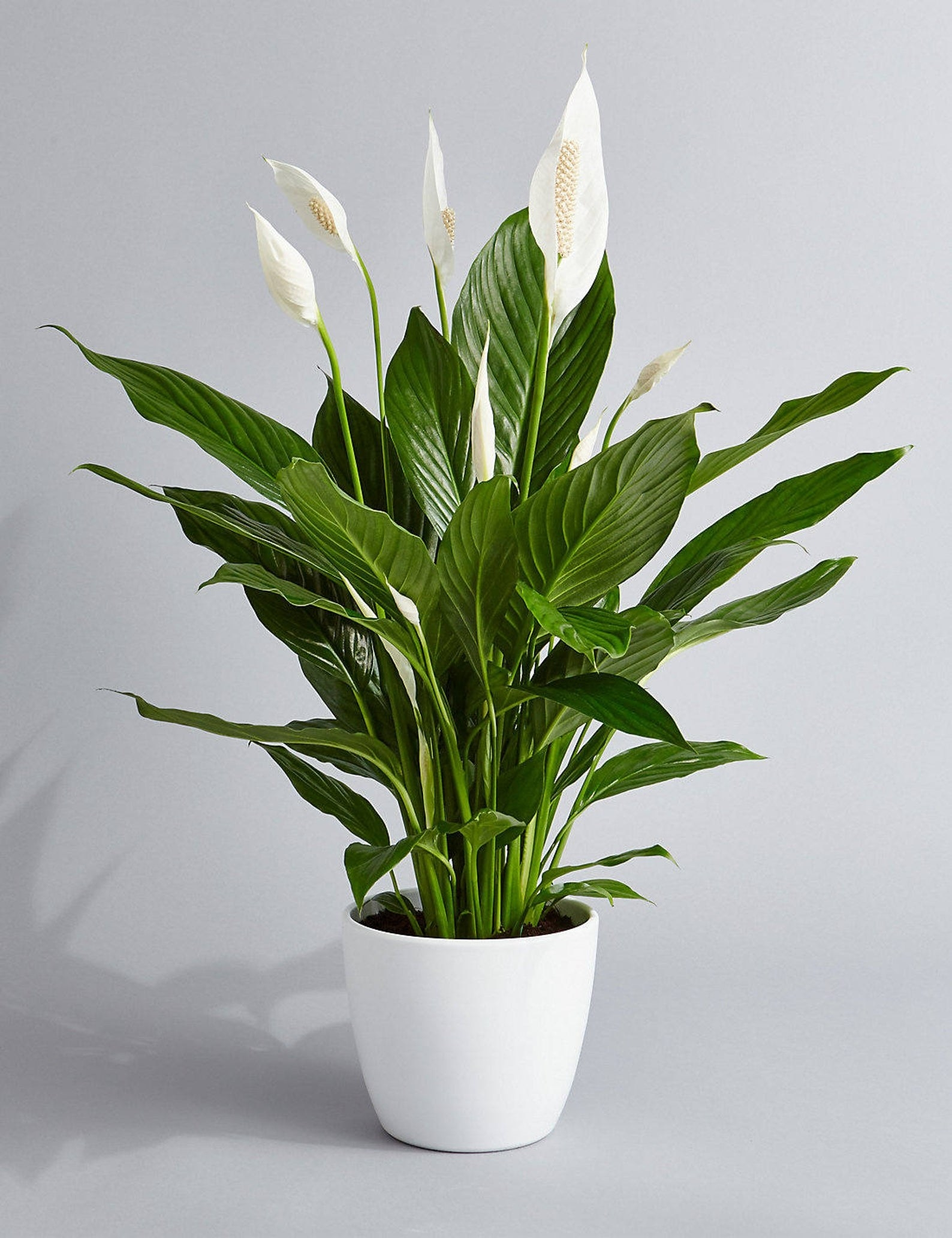 A large peace lily in a white pot