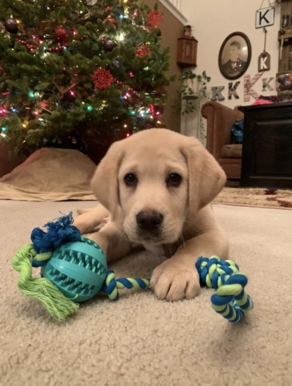 Lab puppy with chew toy