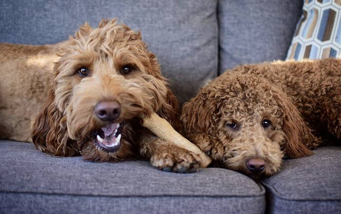 Dogs laying side by side while one enjoys stick toy