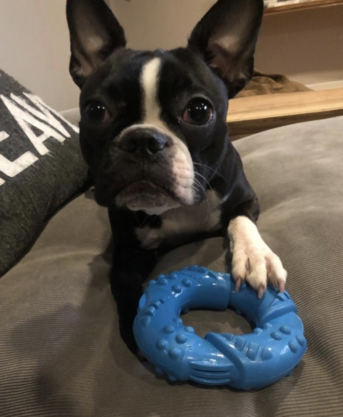 Dog with blue chew toy