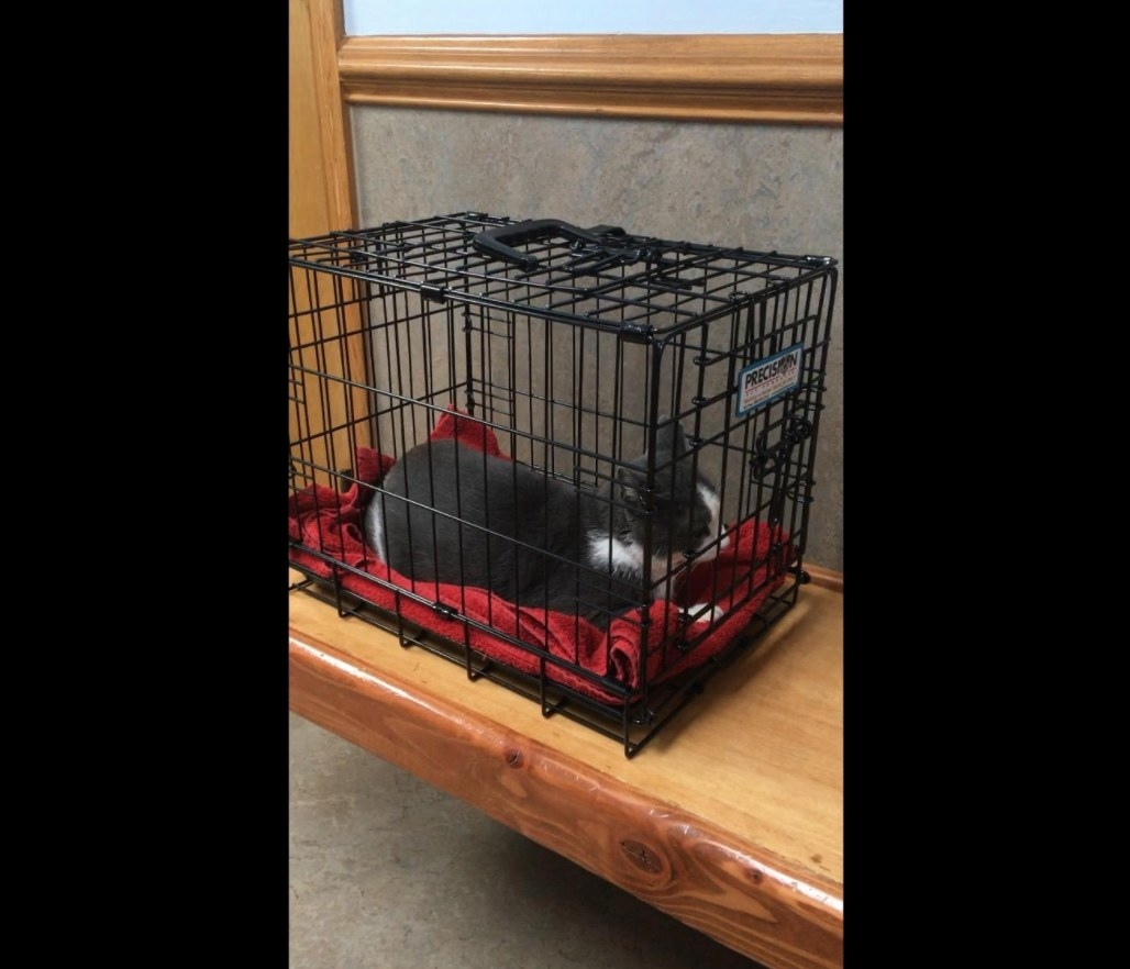 Gray and white cat sitting on a red towel in a black wire crate