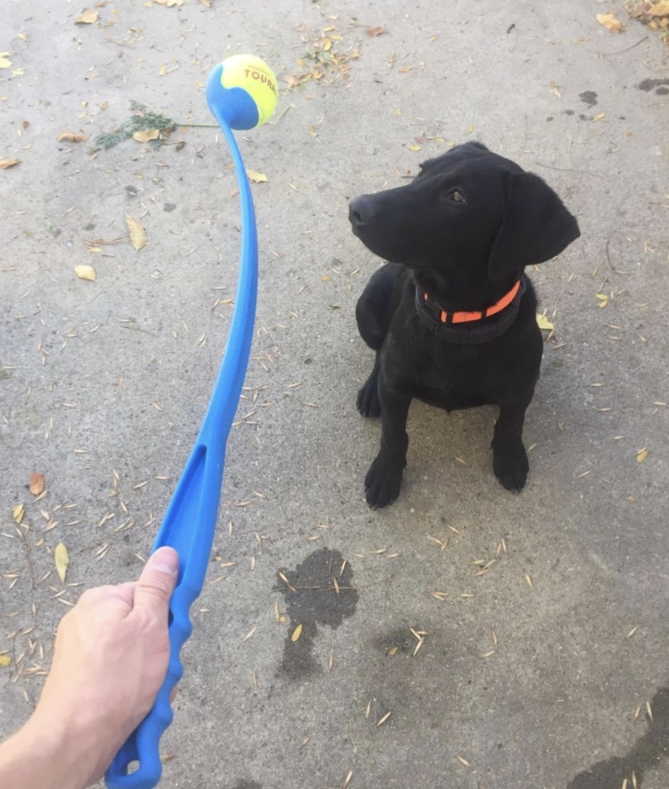 A black lab staring at a blue ball launcher with a tennis ball attached