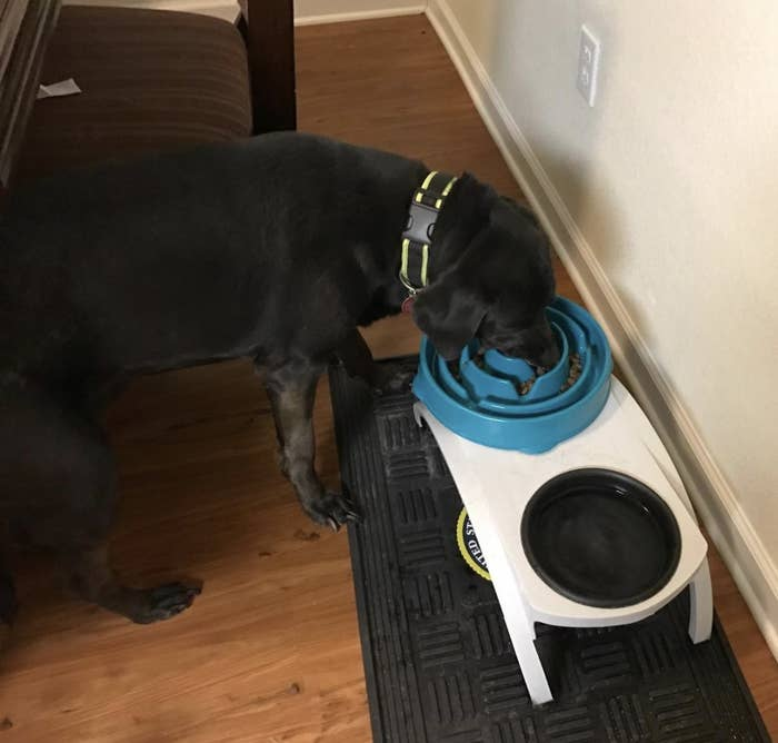 A black lab eating food from a blue slow feeder