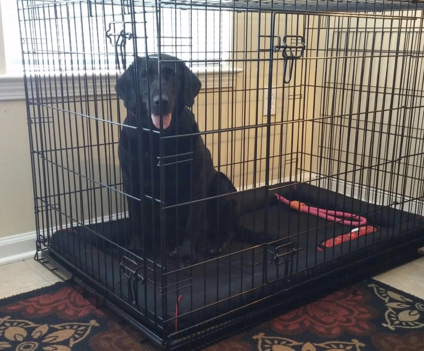 A black lab sitting in a dog kennel