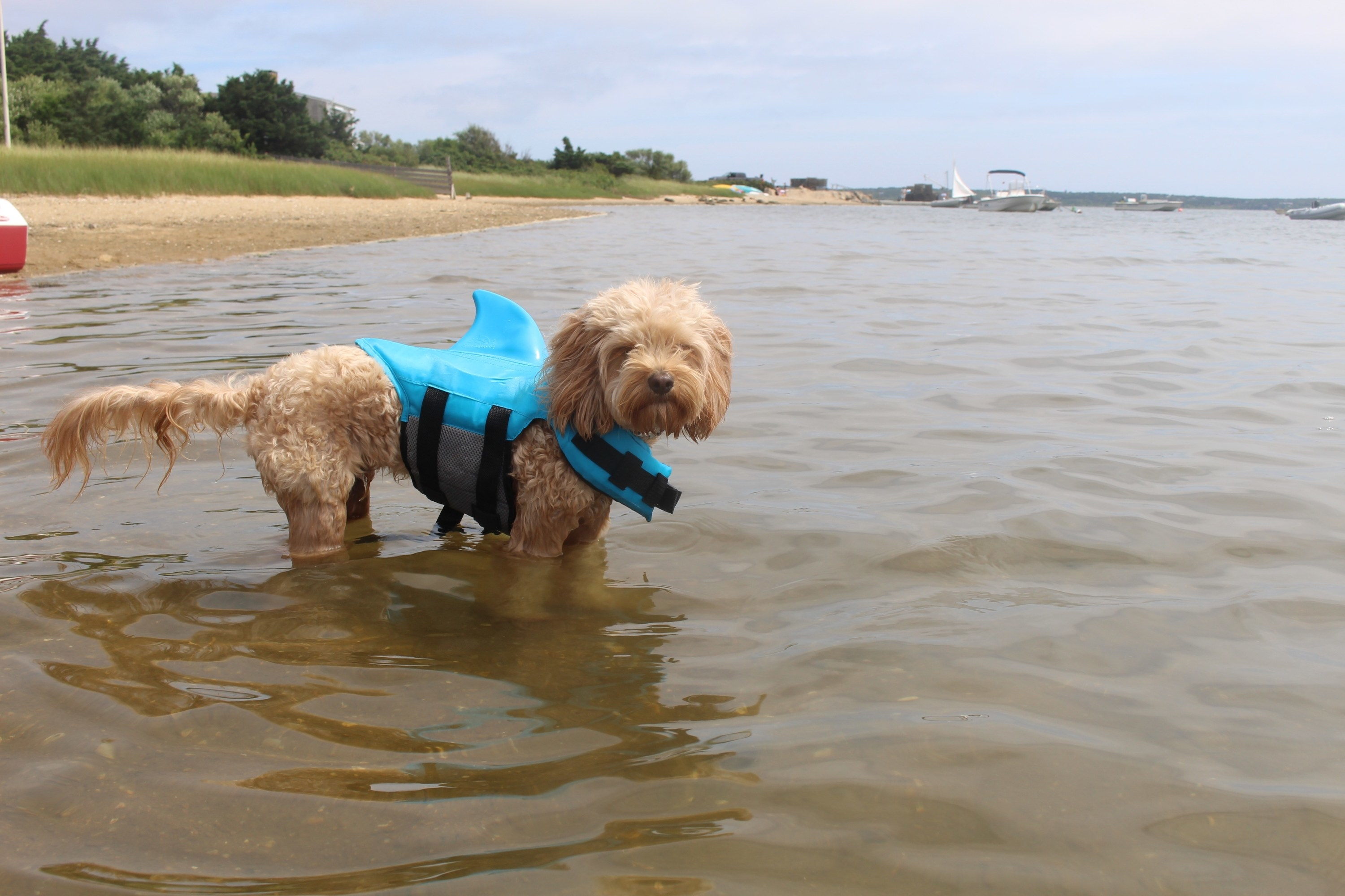 Hudson swimming in a bay with his blue shark life vest on.