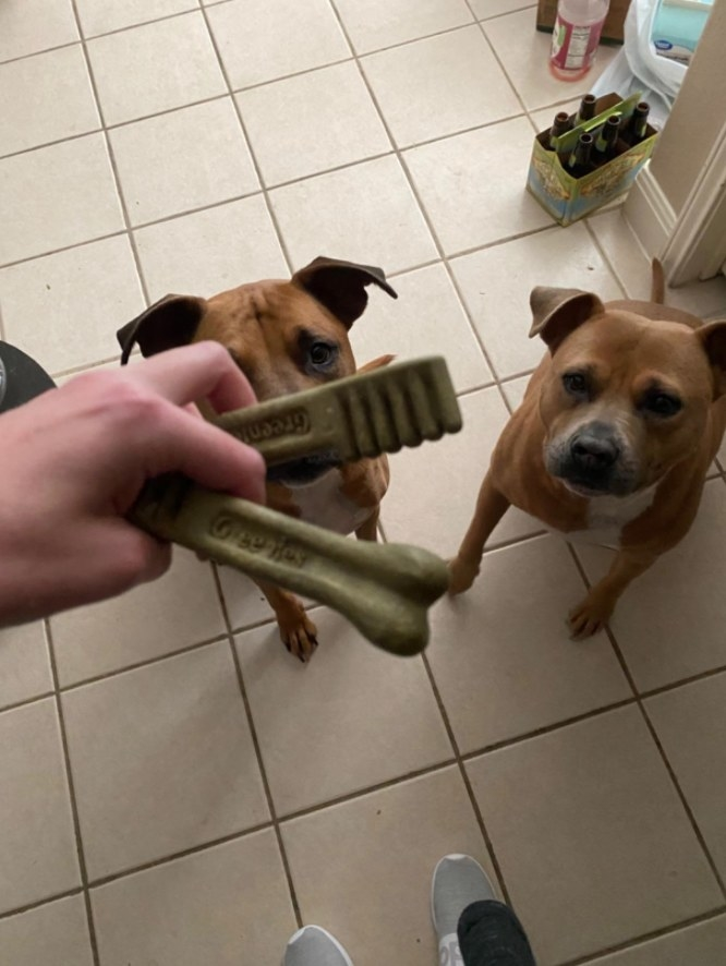 Two dogs looking at person holding Greenies dental treats above their heads