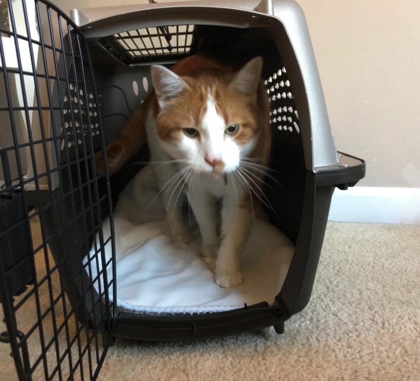 Tabby cat standing inside crate