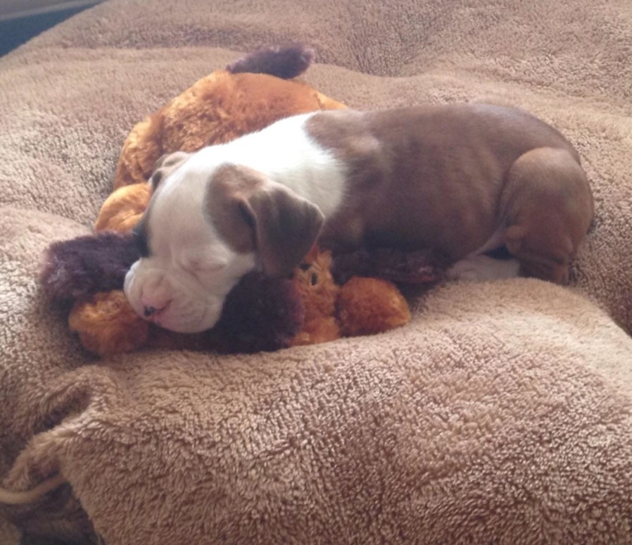 Puppy snuggling with a behavioral aid while sleeping