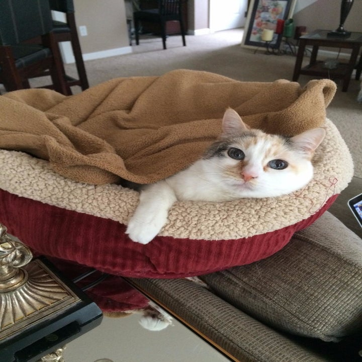 Reviewer photo of their white cat sitting under a blanket on the bed