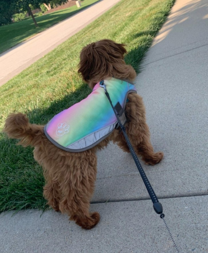 Dog wearing a rainbow jacket while standing on a leash looking at grass
