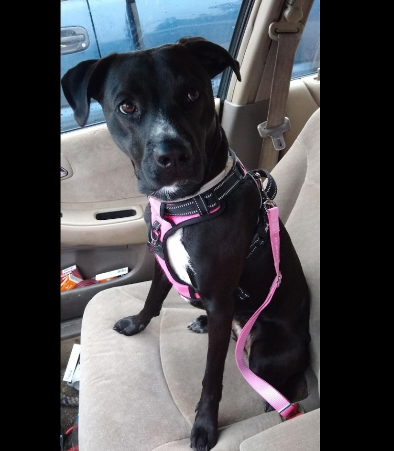 Black and white dog wearing a pink seatbelt in the car