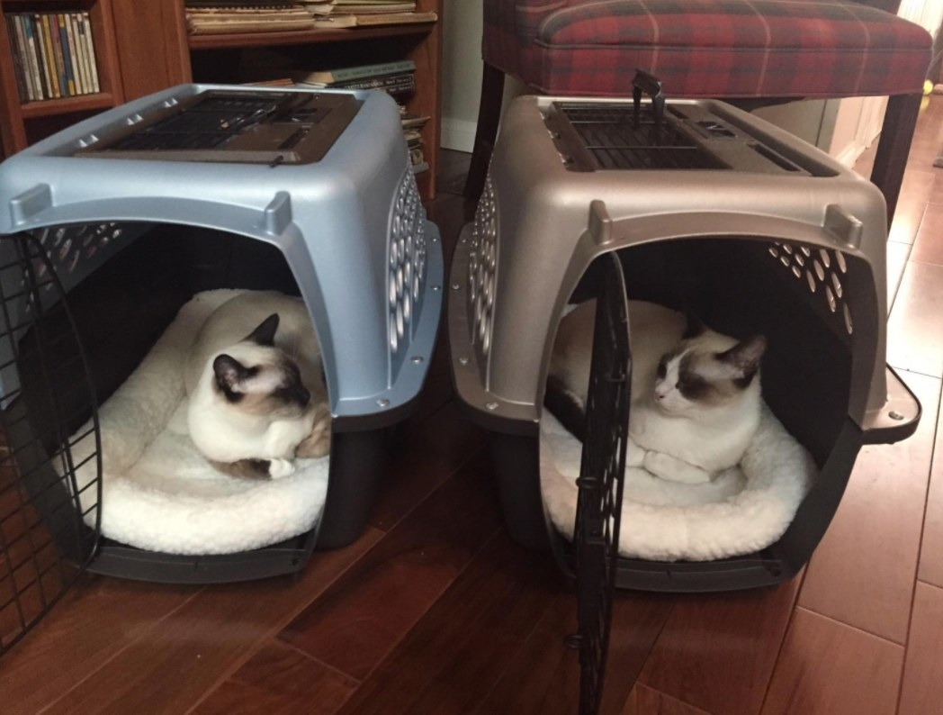 Two white and blackish-gray cats in blue and tan crates looking at each other