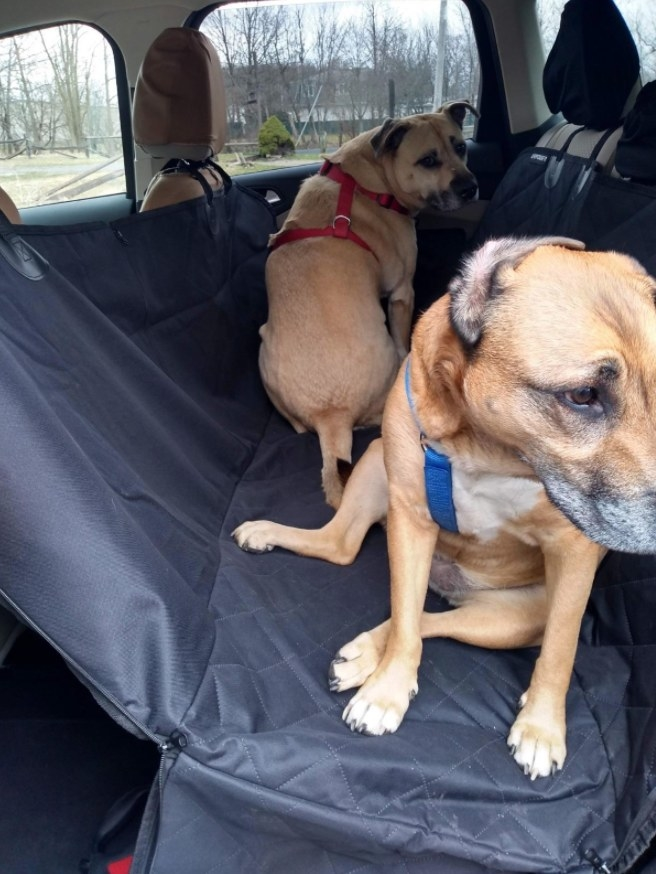 Two tan dogs sitting on a seat cover in the backseat of a car