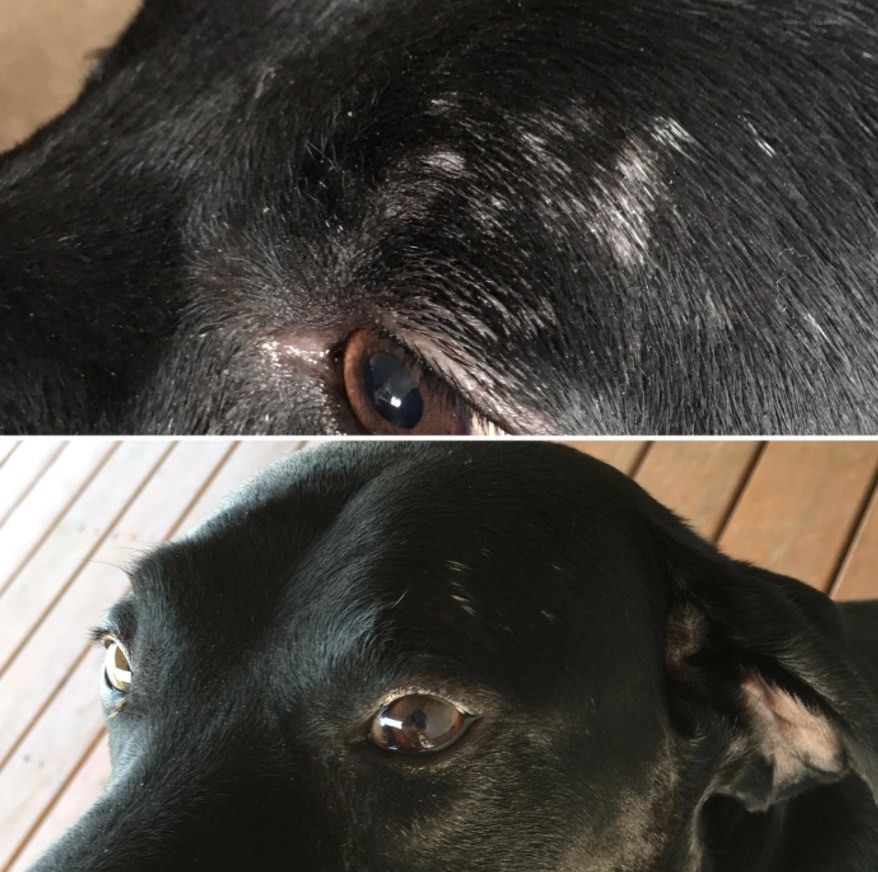 Black dog before and after pictures of immune skin issues