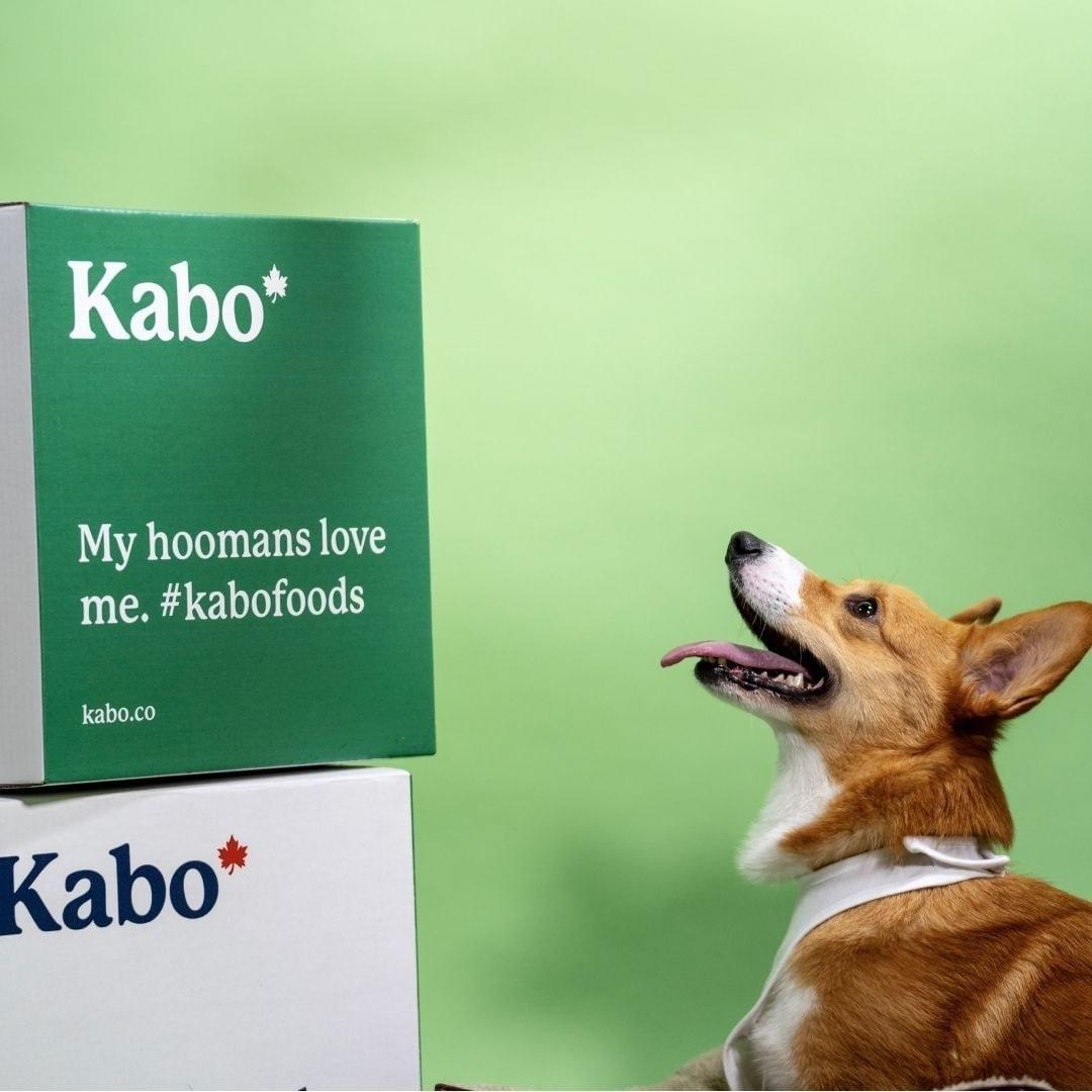 A  corgi next to two boxes of Kabo food
