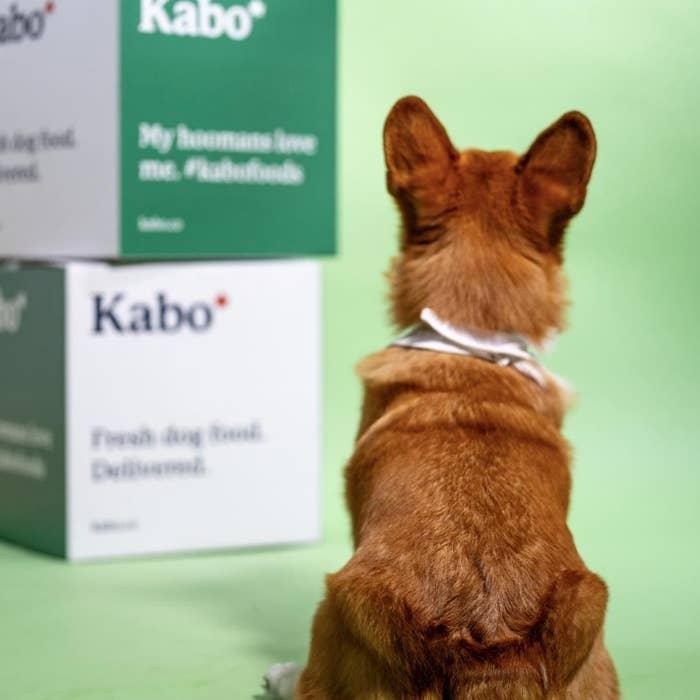 A Corgi staring at two boxes of Kabo food