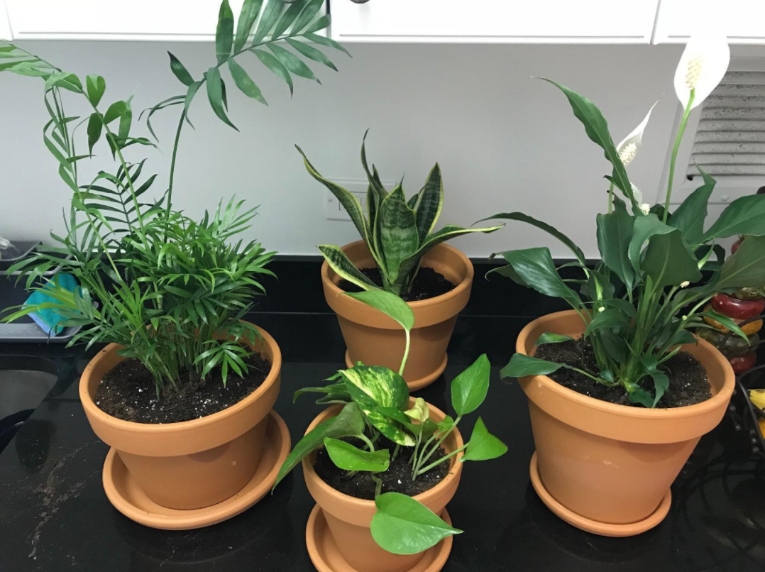 Four plants — an areca palm, a golden pothos, a mother in laws tongue, and a flowering peace lily — in nursery pots on a reviewer's counter